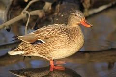 Pato do pato selvagem Foto de Stock Royalty Free