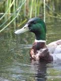 Pato do pato selvagem Fotografia de Stock