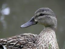 Pato do pato selvagem. Foto de Stock Royalty Free