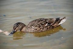 Pato do pato selvagem, Bedgebury Imagem de Stock Royalty Free