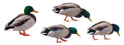 Pato do pato selvagem com o trajeto de grampeamento isolado no fundo branco Imagem de Stock Royalty Free