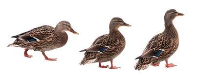 Pato do pato selvagem com o trajeto de grampeamento isolado no fundo branco Fotos de Stock Royalty Free