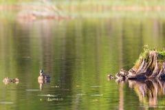 Pato do pato selvagem com patinhos Fotos de Stock Royalty Free