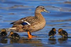 Pato do pato selvagem com patinhos Imagens de Stock Royalty Free