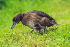 Pato do pato selvagem com seu patinho Imagens de Stock Royalty Free