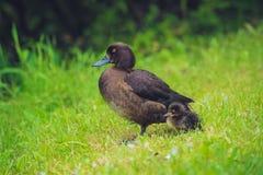 Pato do pato selvagem com seu patinho Fotografia de Stock Royalty Free