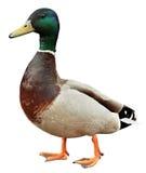 Pato do pato selvagem com trajeto de grampeamento. Pato colorido do pato selvagem isolado no fundo branco Imagens de Stock