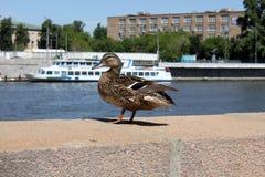 Pato do pato selvagem em um cais Foto de Stock