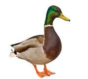 Pato do pato selvagem isolado Fotos de Stock Royalty Free