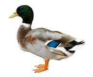 Pato do pato selvagem isolado Foto de Stock Royalty Free