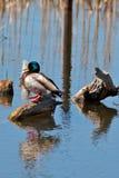 Pato do pato selvagem na lagoa Imagem de Stock