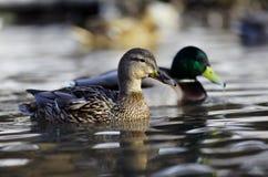 Pato do pato selvagem no rio Foto de Stock Royalty Free