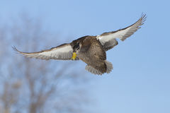 Pato do pato selvagem no vôo Fotos de Stock