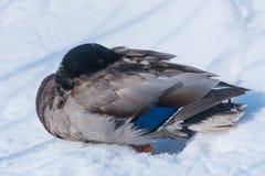 Pato do pato selvagem (platyrhynchos dos Anas) Foto de Stock Royalty Free