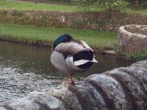 Pato do pato selvagem que está em um pé imagem de stock royalty free