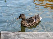 Pato do pato selvagem fêmea na água fotografia de stock