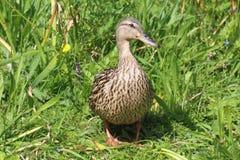 Pato do pato selvagem na grama Fotos de Stock Royalty Free