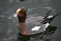 Pato do Wigeon que flutua na água Foto de Stock