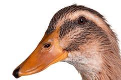 Pato doméstico foto de stock royalty free