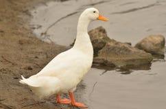 Pato doméstico Fotos de archivo