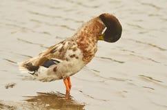 Pato doméstico Fotografía de archivo