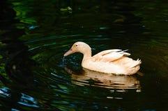 Pato doméstico imagem de stock