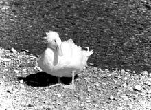 Pato doméstico com crista branco foto de stock royalty free