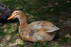 Pato doméstico de Brown imagem de stock