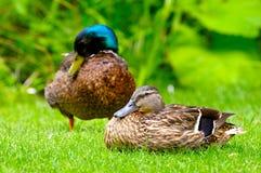 Pato doméstico em plantas verdes Foto de Stock