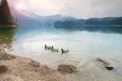 Pato domesticado com fome no nível de água azul Montanha Lake foto de stock royalty free