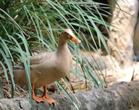 Pato - DreamStock Foto de archivo libre de regalías