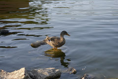 Pato_Duck Foto de Stock