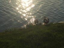 Pato e bebês da mamãe foto de stock royalty free
