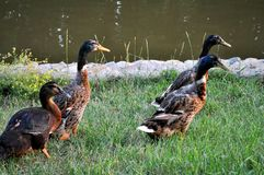 Pato e drakes Foto de Stock