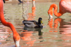 Pato e flamingos do pato selvagem fotos de stock royalty free