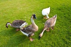 Pato e ganso Foto de Stock Royalty Free
