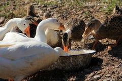 Pato e ganso Fotografia de Stock