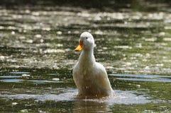 Pato e gotas Foto de Stock Royalty Free