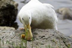 Pato e pão II fotos de stock