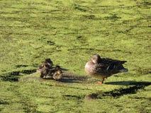 Pato e patinhos da mãe da família na lagoa Fotos de Stock Royalty Free
