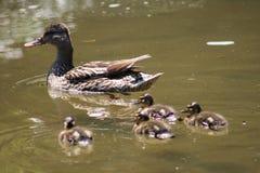 Pato e pintainhos da mãe foto de stock royalty free
