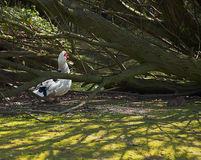 Pato e rato de Muscovy no parque Fotografia de Stock