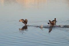 Pato e rio Fotos de Stock