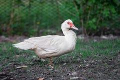 Pato em seguido pato branco na grama selvagem imagens de stock