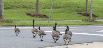 Pato em seguido na rua Fotos de Stock Royalty Free