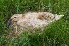 Pato em seu ninho. Imagem de Stock Royalty Free