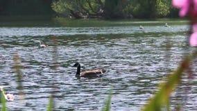 Pato em um lago vídeos de arquivo