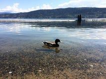 Pato em um lago Foto de Stock Royalty Free