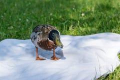 Pato em um lago Fotografia de Stock