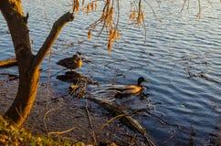 Pato em um rio Imagem de Stock Royalty Free